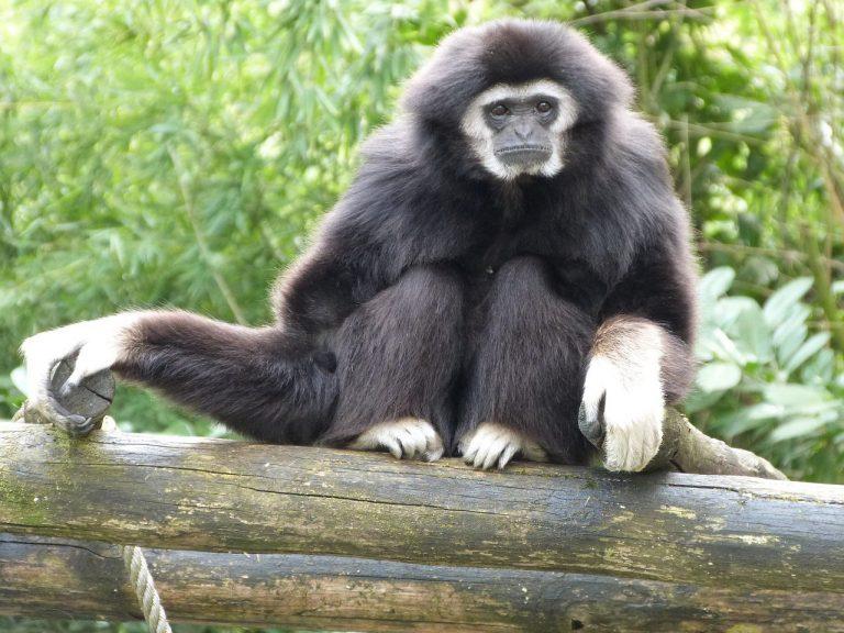 gibbon-white-hands-1153456_1280